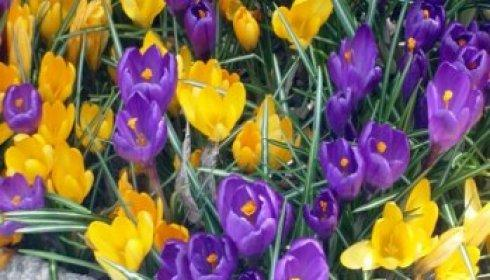 crocus pop
