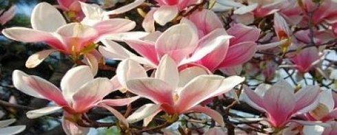 magnolia ostat