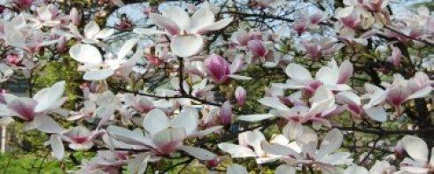 magnolia pop iii