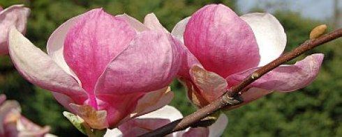 magnolia pop iv